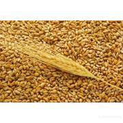 продам пшеницу 4-5 класс