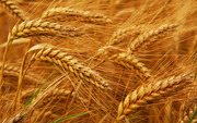 Куплю пшеницу,  ячмень