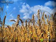 пшеница 3 класса,  подсолнечник